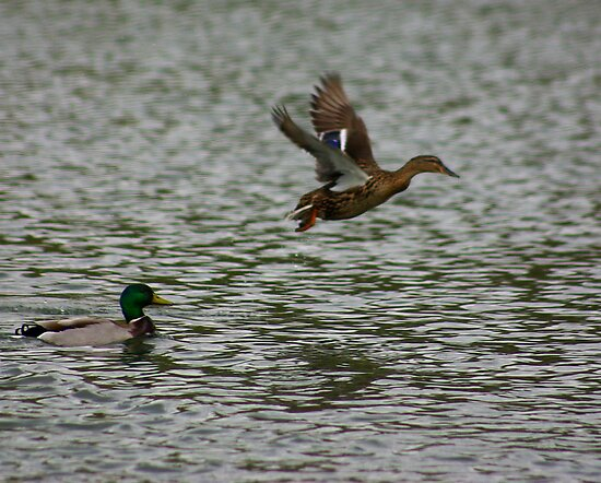 Waterfowl in Flight #8 by Trevor Kersley