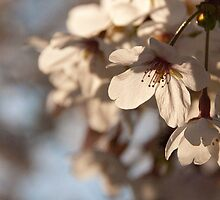 Cherry blossoms, Japan by Rhona