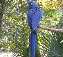 Hyacinth Macaw by Edward Denyer