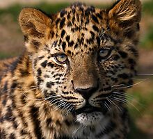 Amur Leopard cub by SWEEPER