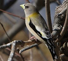 Female Pine Grosbeak by DigitallyStill