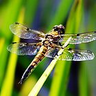 Dragonfly by Angela Yoldassis