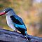 WOODLAND KINGFISHER - *_Halcyon senegalensis_* by Magaret Meintjes
