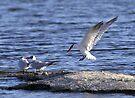 Landing bird by Larry  Grayam
