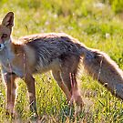 Young fox by Mariann Rea