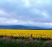 Field of Daffodils  by Larissa  White Brown