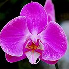 Single Orchid by Kate Adams