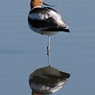 Avocet Reflections by Bunny Clarke