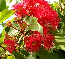 Red flowering gum by Anna D'Accione