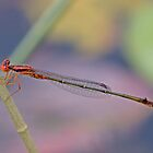 Enallagma concisum (Cherry Bluet) by Jim Johnson