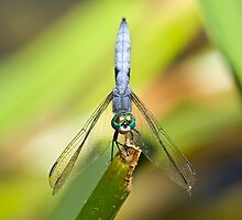 Pacific Northwest Dragonflies and Damselflies by Jim Johnson