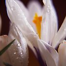 White Crocus by Antanas