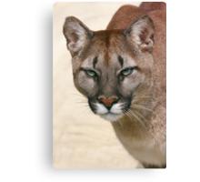 Puma's stare Canvas Print