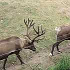 Canadian Elks In Procession by brotheroutsider