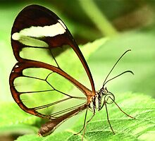 Transparent Butterfly by Eva & Klaus WW