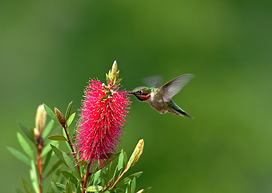 Hummingbird on Bottlebrush by Bonnie T.  Barry