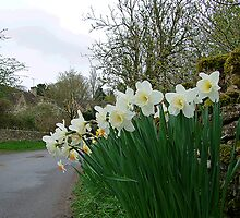 Daffodil Time, Cotswolds, England by Maureen Smith