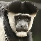 Colobus Monkey by Steve Bullock