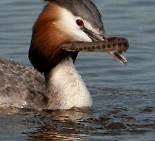 Great Crested Grebe by Minne