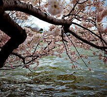 Cherry Blossom Branches Near the Potomac River: Blue-Pink-Aqua by creativeburn