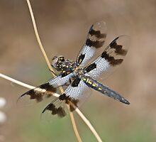 Plathemis subornata (Desert Whitetail) by Jim Johnson