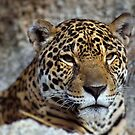Jaguar by Dennis Stewart