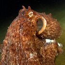 The Giant Pacific Octopus by Greg Amptman