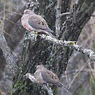 Mourning Doves  by maxy