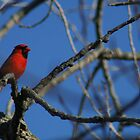 Male Cardinal by Dave & Trena Puckett