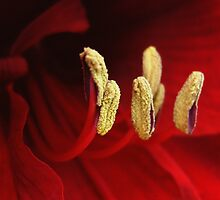 Red Amaryllis by TheWalkerTouch