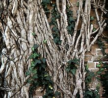 Vines, Blast furnace ruins, Lithgow NSW by ozzzywoman