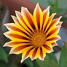 Gazania -  Red Stripe by taiche