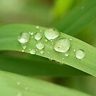 Spring Raindrops by mistyrose