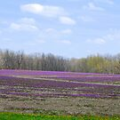 Field of Purple Wildflowers by Catherine Sherman