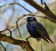 starling by mc27
