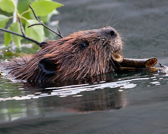 Beaver Working by William C. Gladish