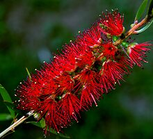 photoj' Bottle Brush - Flora' by photoj