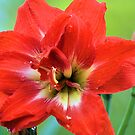 Double Amaryllis by Donna Adamski