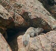 Rocky Squirrel by Arla M. Ruggles