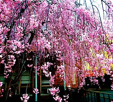 Weeping Cherry Tree by RonnieGinnever