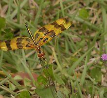 Dragonfly by Megan Evorik