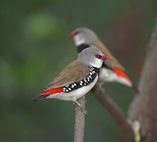 Diamond Firetail by Melva Vivian