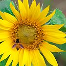 Sunflower and Honey Bee by Mukesh Srivastava