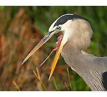 Great Blue Heron Exposure Photographic Print