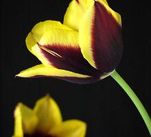 Tulip Gavotta by Gabrielle Battersby