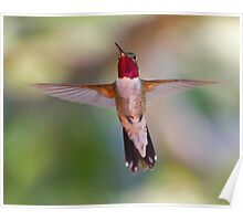 Broad-tailed Hummingbird in Flight Poster