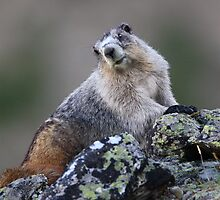 Alaska Marmot Portrait by William C. Gladish