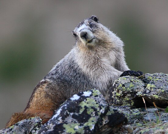 Alaska Marmot Portrait by William C. Gladish