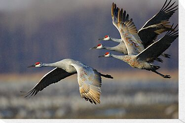 Sandhill Cranes in Flight by William C. Gladish