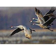 Sandhill Cranes in Flight Photographic Print